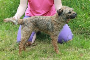 Rags - Border Terrier
