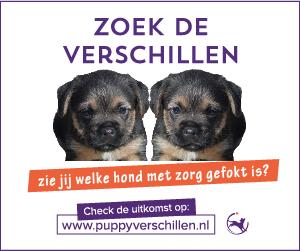 puppyverschillen-border-terrier