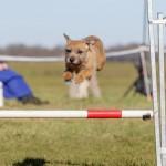 Pip Border Terrier